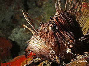 This image of a Lionfish was taken during my Christmas tr... by Steven Anderson 